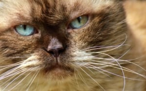 blue eyed cat with white whiskers