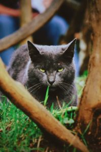 disdainful cat who may or may not be eating grass ...